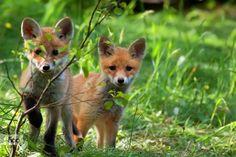 Foxes in the wild by Janusz Pienkowski on 500px
