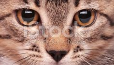 Eye Of The Tiger - Stock image