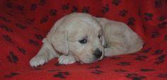 available english cream golden retriever puppies