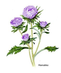 Aster. Botanical art, Watercolors Aster Tattoo, Aster Flower Tattoos, Vintage Botanical Prints, Botanical Art, Botanical Illustration, Morning Glory Tattoo, September Flowers, Birth Month Flowers, Flora Design