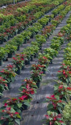 The promotional Poinsettia crop in early November.