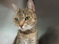 """http://nyccats.urgentpodr.org/kylie-a1069969/ ***VERY URGENT!!! – KYLIE DESERVES THE VERY BEST FAMILY*** Wonderful KYLIE (A1069969) is 2 years old girl. In April 2016 she was SPAYED, ABORTED & ADOPTED from Brooklyn Center. Three months later, she was RETURNED for DOH-B reason. Still, she """"allows handling, relaxed, quite, and no aggression"""". ♥ DON'T ABANDON HER AGAIN. KYLIE DESERVES SOMEONE TO LOVE HER ♥"""