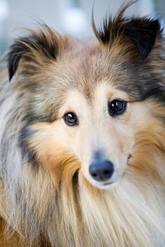 Best Bully Sticks Breed Spotlight: Shetland Sheepdog | Best Bully Sticks Healthy Dog Blog