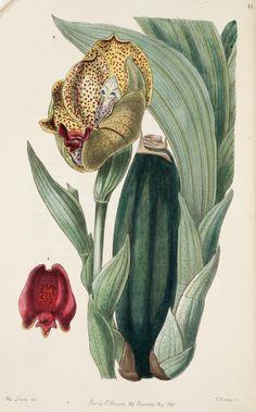 Mr. Rucker's Anguloa (Anguloa ruckeri). Edwards's botanical register v. 32 London :James Ridgway,1829-1847. Biodiversitylibrary. Biodivlibrary. BHL. Biodiversity Heritage Library