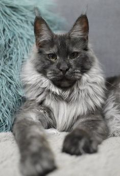 Sylvester is my name maine coon love мейн кун, большие кошки Pretty Cats, Beautiful Cats, Animals Beautiful, Cute Animals, Wild Animals, Baby Animals, Funny Animals, I Love Cats, Crazy Cats