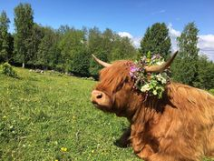 Highland Cattle Of Saarela Cute Baby Cow, Baby Cows, Cute Cows, Cute Babies, Baby Elephants, Scottish Highland Cow, Highland Cattle, Mini Highland Cow, Fluffy Cows
