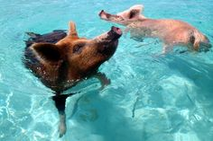 Swim with Pigs - Staniel Cay, Exuma, Bahamas