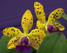 Inter-generic Orchid-hybrid Lc: LaelioCattleya 'Jungle Eyes' -  Flickr - Photo Sharing!