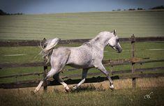 CLASSIC FARHAN Hadaya El Tareef x HMT Fernazza (PVA Kariim)  2007 Stallion  Straight Egyptian