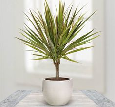 Houseplants That Can Survive Darkest Corner of Your House Dragon Tree - With stiff leaves this tree is attractive with colorful foliage. It needs low sunlight,when the leaves turn dry water it regularly. Inside Plants, Cool Plants, Air Plants, Best Indoor Plants, Indoor Garden, Balcony Garden, Plantas Indoor, Decoration Plante, Peace Lily