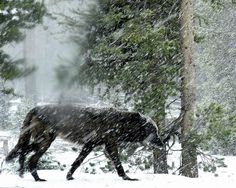 Wild wolf in snowstorm next to my car. (From Reddit, so not MY car, but the photographer's car. Lucky photographer!)
