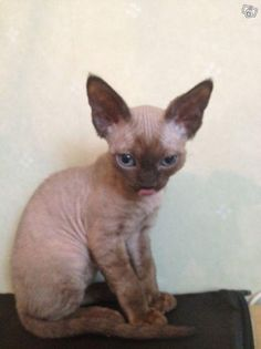 Devon Rex how cute