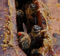 N CAROLINA ST U - Bees 'Self-Medicate' When Infected With Some Pathogens. The idea that the survival instinct of a honey bee has a mothering tendency with homeopathic remedies is astonishing!