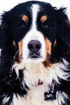 theo the bernese mountain dog
