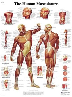This colourful anatomical chart illustrates the human muscular system in full detail. Every part of the human body's muscular system is labelled in this detailed anatomy poster.This thickly laminated anatomical chart is printed on premium glossy ( Human Anatomy Chart, Body Anatomy, Anatomy Drawing, Muscle Chart Anatomy, Human Muscle Anatomy, Proportions Du Corps, Human Muscular System, Systems Art, Anatomy And Physiology