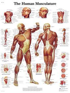 Human Musculature - Anatomical Chart, Anatomy Poster, Anatomical Poster, Anatomy Chart