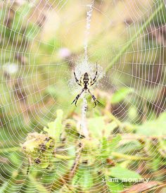 Spider and Web. Spiders are notoriously hard to photograph.
