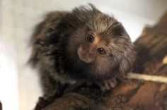 The baby marmoset monkey, which has been born and the White House Farm Centre, near Morpeth