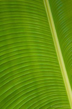 Banana tree leaf; Hawaii.