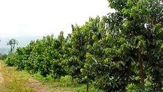 Green Master Project: Cultivo de la Guanabana o Graviola