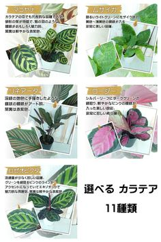 選べる カラテア 観葉植物 4号鉢