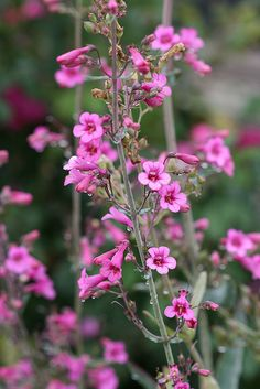 Penstemon Parryi This Upright Perennial Has Funnel Shaped Bright Pink Flowers On 3