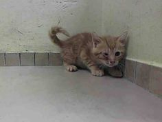 Lovables: Friendly and allowed handling eating soft food on own ** Brooklyn Center  My name is SCOTT. My Animal ID # is A1004855. I am a male org tabby domestic sh mix. The shelter thinks I am about 7 WEEKS old.  I came in the shelter as a STRAY on 06/27/2014 from NY 11354. I came in with Group/Litter #K14-183768.