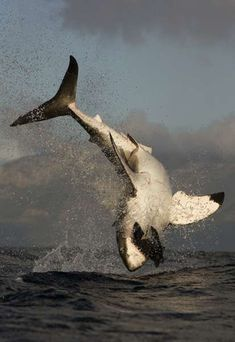 catched - great white shark