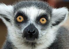 Lemur by - Animal Eyes Photo Contest Animals Images, Funny Animals, Cute Animals, Chimpanzee, Orangutan, Primates, Mammals, Beautiful Creatures, Animals Beautiful