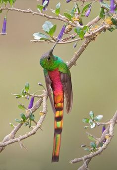 "letsgowild: "" Red-tailed Comet The Red-tailed comet (Sappho sparganurus) is a medium-sized hummingbird found in the central Andes of Bolivia and Argentina Image source: Glenn Bartley Nature Photography """