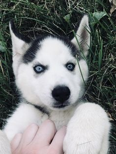 Meet my new puppy, Luna Siberian Husky Dog, Husky Puppy, New Puppy, Labrador Retriever, Cute Dogs Breeds, Dog Breeds, Wallpaper Fofos, Snow Dogs, Cute Puppies