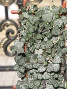 Nome botânico: Ceropegia woodii Schaltr. Nome popular: ceropégia, corações-de-pedra, corações- emaranhados, colar-de-corações, entre outros