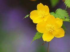 Kerria 山吹の花 やまぶき