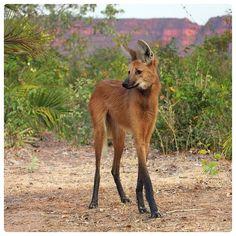 Wow. [maned wolf (Chrysocyon brachyurus)]