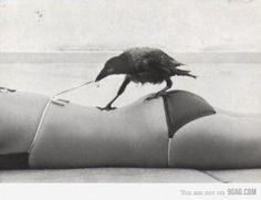 a smart crow...