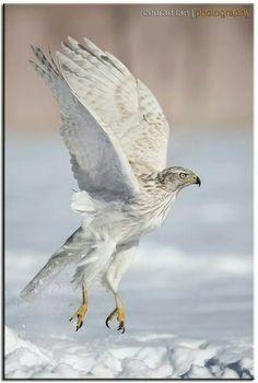 Siberian Goshawk. Conrad Tan Photography