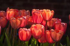 growing tulips | by raspberrytart