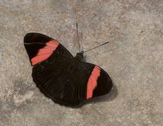 https://flic.kr/p/BjYDKa | Adelpha lycorias, Rayed Sister, 2015 Oct 27, Rio Chaloyacu, Napo, Ecuador, JGlassberg - 3483 | Rayed Sister, Adelpha lycorias, Ecuador butterflies, Sunstreak Tours, Glassberg