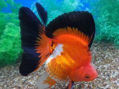 Lot# 10315 Tri-color Ryukin with Buttefly Tail Goldfish Types, Goldfish Tank, Colorful Fish, Tropical Fish, Ryukin Goldfish, Cool Fish, Freshwater Aquarium Fish, Underwater Creatures, Beautiful Fish