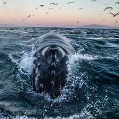 Photograph by @paulnicklen // A humpback whales gorges itself on bait fish along…