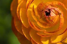 Renoncule, Fleur, Fermer, Bloom