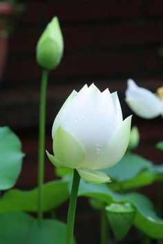 lotus flowers in water Water Flowers, Water Plants, Water Lilies, Beautiful Flowers, Wild Flowers, Beautiful Things, White Lotus Flower, Dame Nature, Blossom Garden