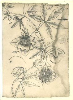 Passion Flower Vintage Botanical Sketch Drawing Facsimile  Passiflora Maranhao Brazil. $16.00, via Etsy.