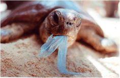 Tartaruga marinha com sacola plástica na boca.