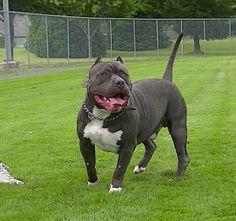 T-Rex Koolaid son  www.megabuiltbullies.com #bluenosepitbulls #blue #pitbulls #puppies Big Pitbull, Bully Pitbull, Black Pitbull, Pitbull Terrier, Xxl Pitbulls, Bully Xxl, Cãezinhos Bulldog, Smiling Animals, Mastiff Breeds