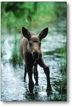 moose calf  aww..so gangly