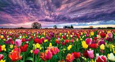 Resultado de imagen para jardin de tulipanes vintage wallpaper