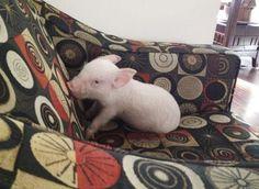 Esther-MiniPig-adoptada-notasdemascotas.com-1 Esta pareja pensó adoptar una Mini Pig , pero obtuvieron 670 libras de ternura