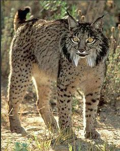 Iberian lynx are Critically Endangered - Currently there are about 170 individuals