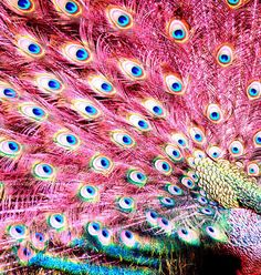 Pretty sure these aren't real, but now I totally want to decorate with pink peacock feathers. Or just have a big garden with lots of pink peacocks roaming around. Beautiful Birds, Animals Beautiful, Cute Animals, Beautiful Things, Crazy Animals, Pretty Animals, Wild Animals, Pink Peacock, Peacock Feathers